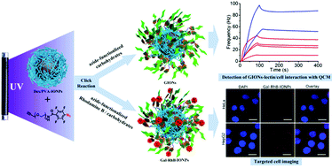 Facile fabrication of glycopolymer-based iron oxide nanoparticles and their applications in the carbohydrate–lectin interaction and targeted cell imaging.
